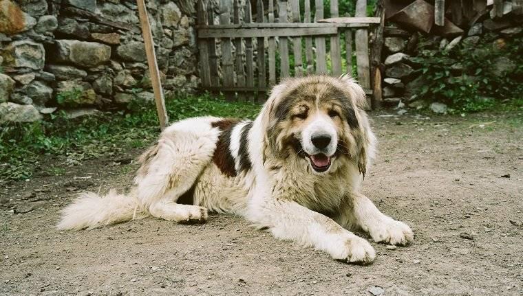 Чем отличается немецкая овчарка от восточноевропейской: внешность (фото), характер, поведение и особенности дрессировки