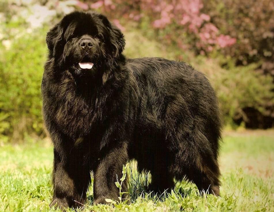 Ньюфаундленд: все о породе, фото собаки, описание, характер, цена