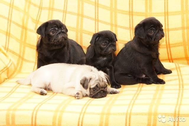 Черный мопс: как выглядит собака на фото, какие особенности характера имеет щенок и как правильно выбрать домашнего питомца