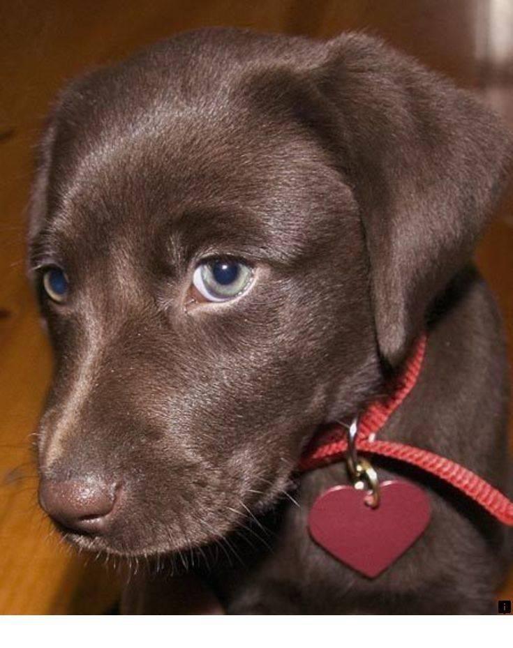 Коричневый лабрадор: как выглядит щенок и взрослый питомец с голубыми глазами на фото, а также какую кличку выбрать мальчику