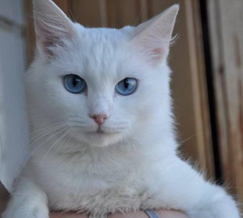 Читать про почему белые коты глухие? на сайте vetatlas.ru