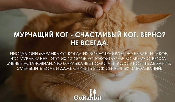Почему кошки мурлыкают и топчут лапками человека