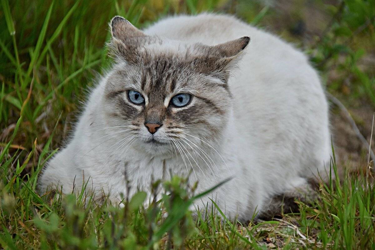 Зачем котам есть траву и почему кошки едят пырей и осоку