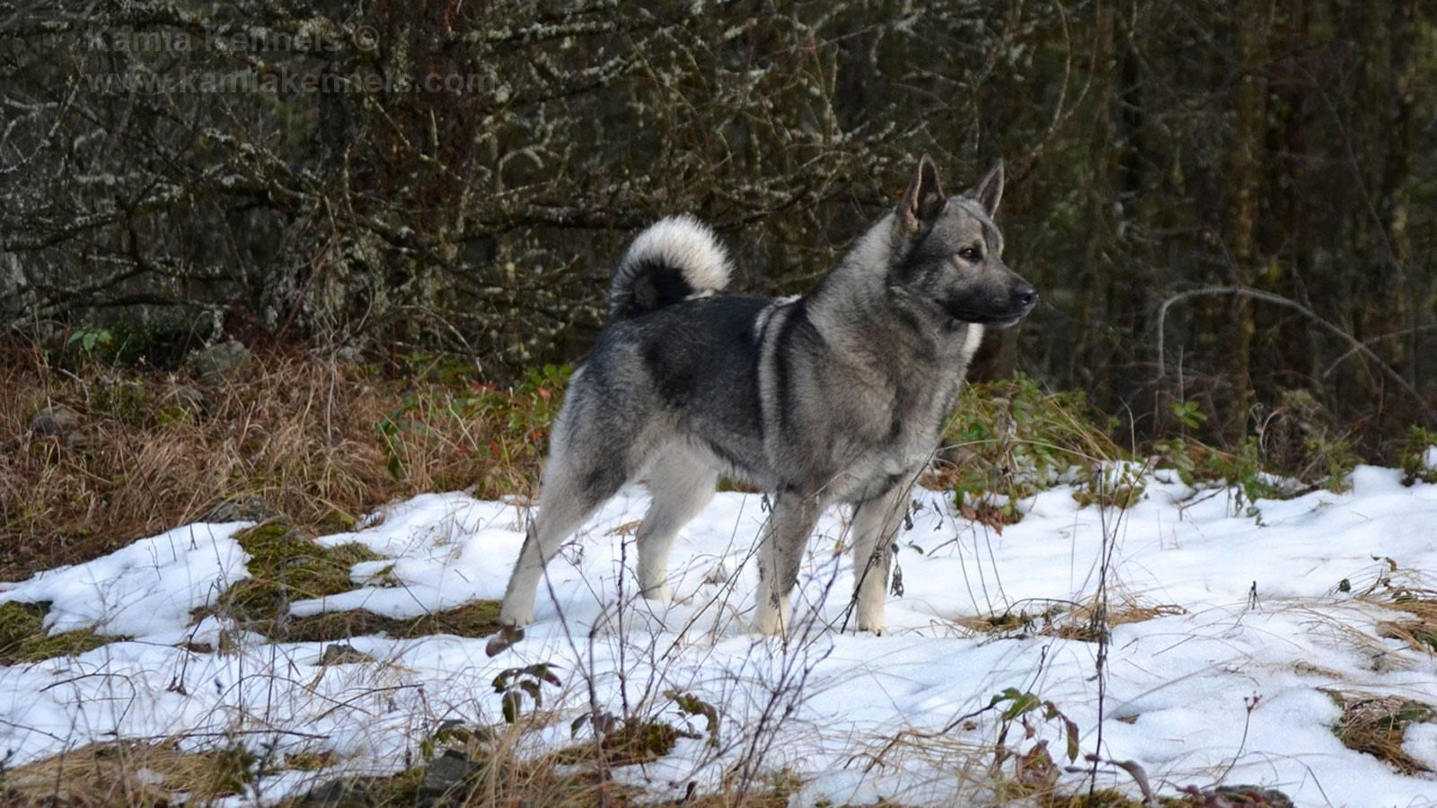 Норвежский элкхаунд. фото и описание породы норвежский элкхаунд. фото и описание породы