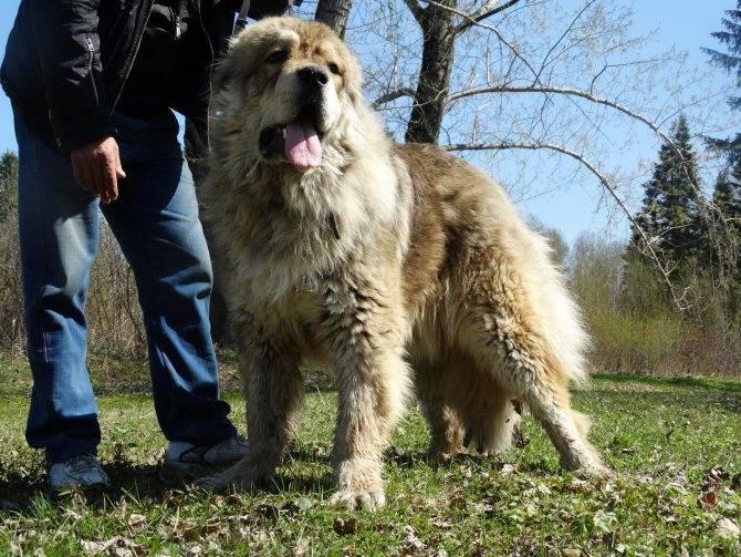 Порода собак волкодав с фото и описанием