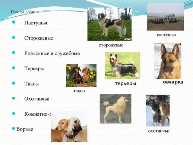 14 пород овчарок: фото, виды, какие бывают, описание и характеристика, стоимость щенков