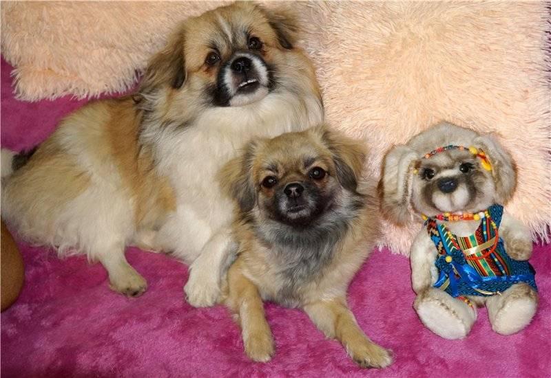 Описание и характеристики пекинесов: внешность карликовой породы собак
