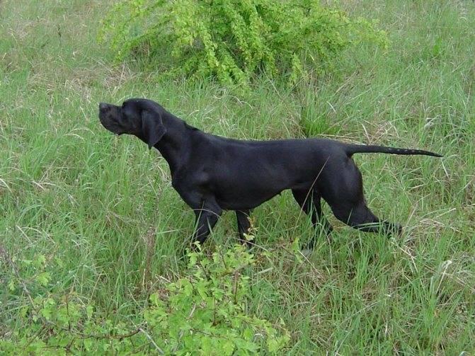 Характеристика породы собак пойнтер, особенности содержания и ухода