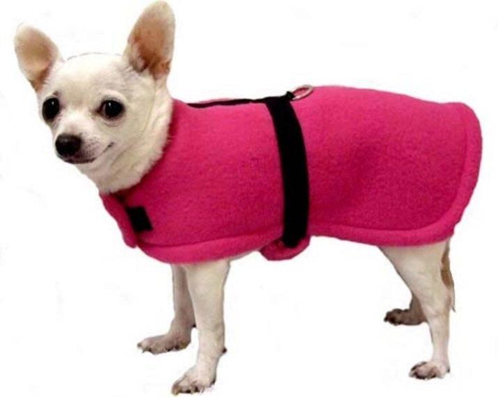 Чихуахуа – маленький долгожитель и частый гость модных показов