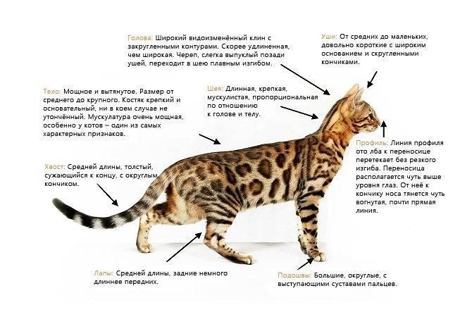 Леопардовая собака катахулы. описание, особенности, характер, история и цена породы