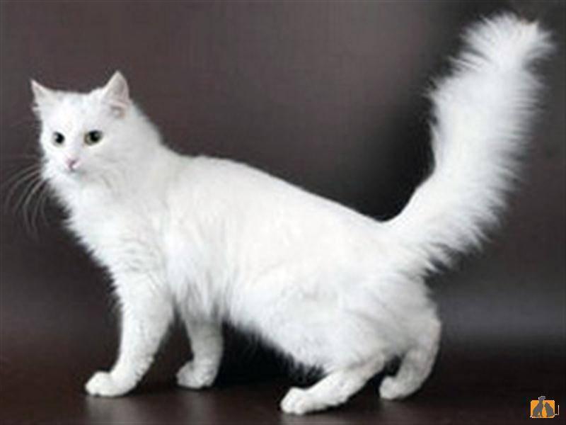 Турецкий ван – описание породы, характер ванской кошки и нюансы ухода