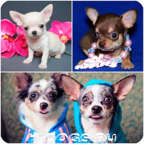 Какие бывают виды чихуахуа: фото, описание, общие черты и отличия + наиболее популярные окрасы собак этой породы