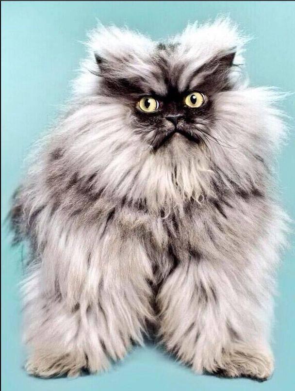 Примеры как называются породы кошек с длинными ушами и вытянутой мордой
