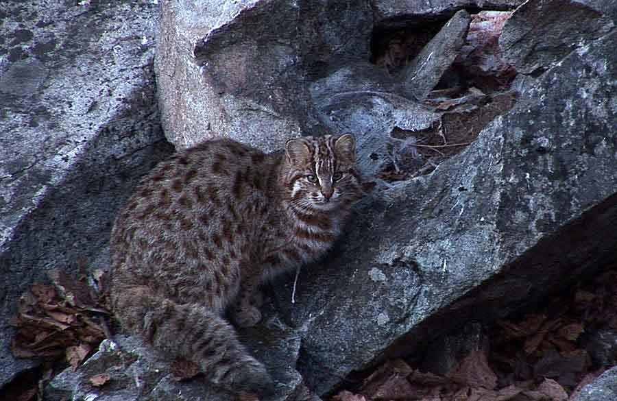 Дикие кошки: 24 породы, описание и характеристика