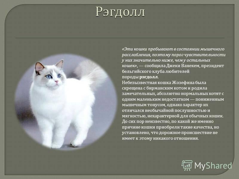 Гималайская кошка – пушистая красавица с колор-пойнтовым окрасом
