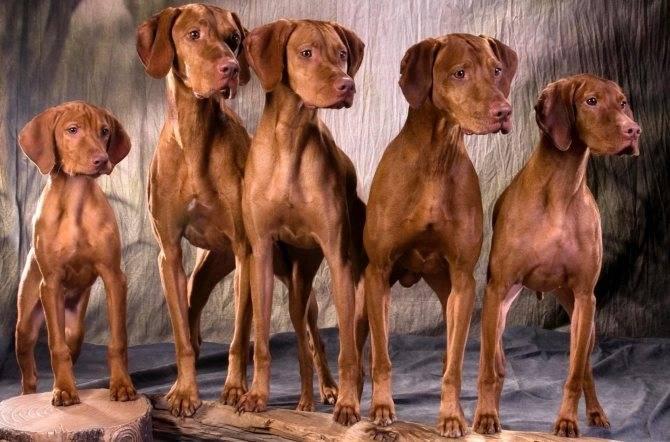 Породы легавых собак