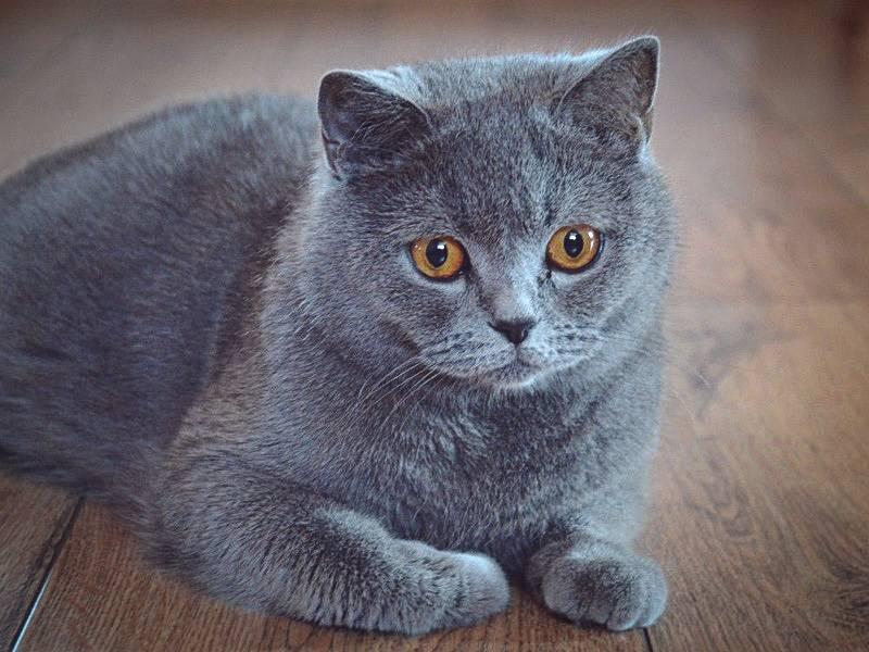 Британские короткошерстные кошки: ? описание породы, характер, здоровье