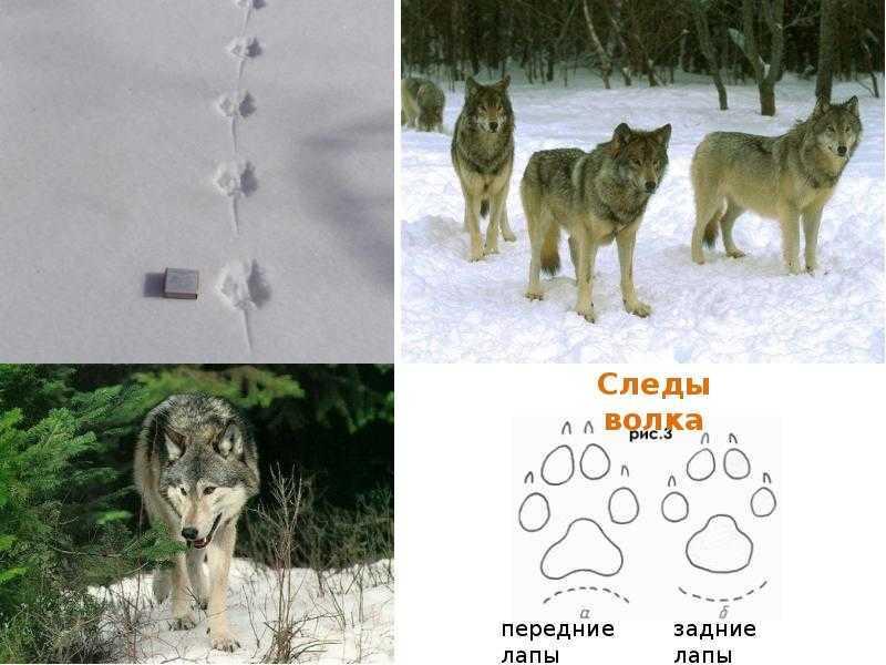 А вы знаете, как отличить волка от собаки? : labuda.blog а вы знаете, как отличить волка от собаки? — «лабуда» информационно-развлекательный интернет журнал