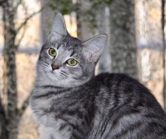 Парад окрасов абиссинских кошек: фавн, дикий, голубой, соррель и др.