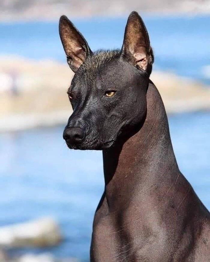 Посланница бога – мексиканская голая собака