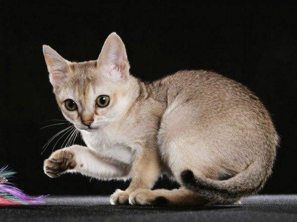 Сингапурская кошка. описание, особенности, уход и цена сингапурской кошки   животный мир