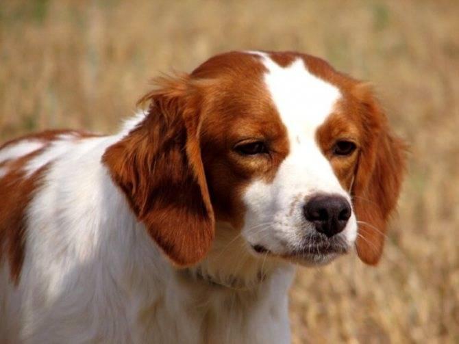 Описание породы собак бретонский эпаньоль с отзывами и фото