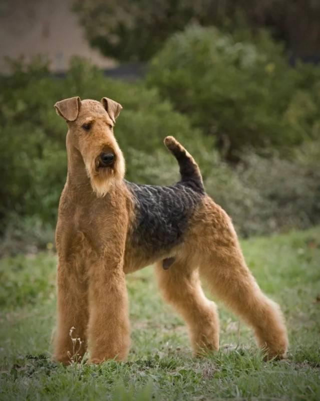 Керн-терьер: описание породы, уход за щенками и взрослой собакой
