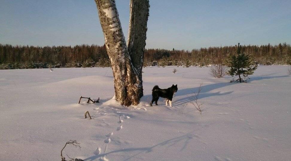 Охота с западно-сибирской лайкой: особенности и уход, натаска, дрессировка собаки