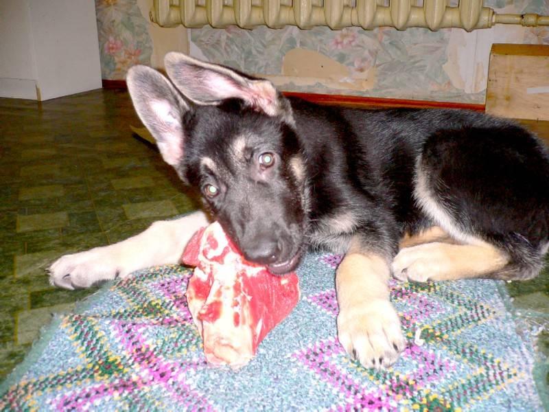 Советы ветеринара, как кормить щенка немецкой овчарки