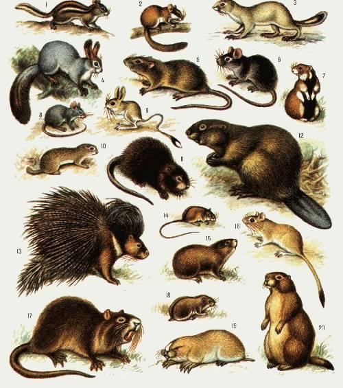 Калифорнийский кролик: описание породы, разведение и содержание