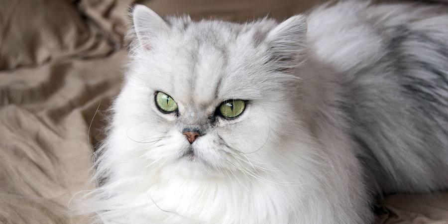 Персидская шиншилла — история кошек и все тонкости содержания