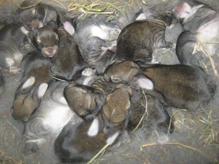 Беременность у кроликов: как узнать, возможные проблемы