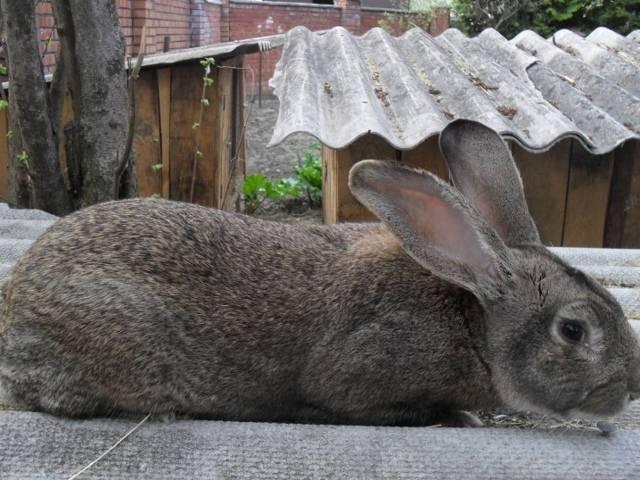 Порода кроликов серый великан: описание, особенности содержания и ухода