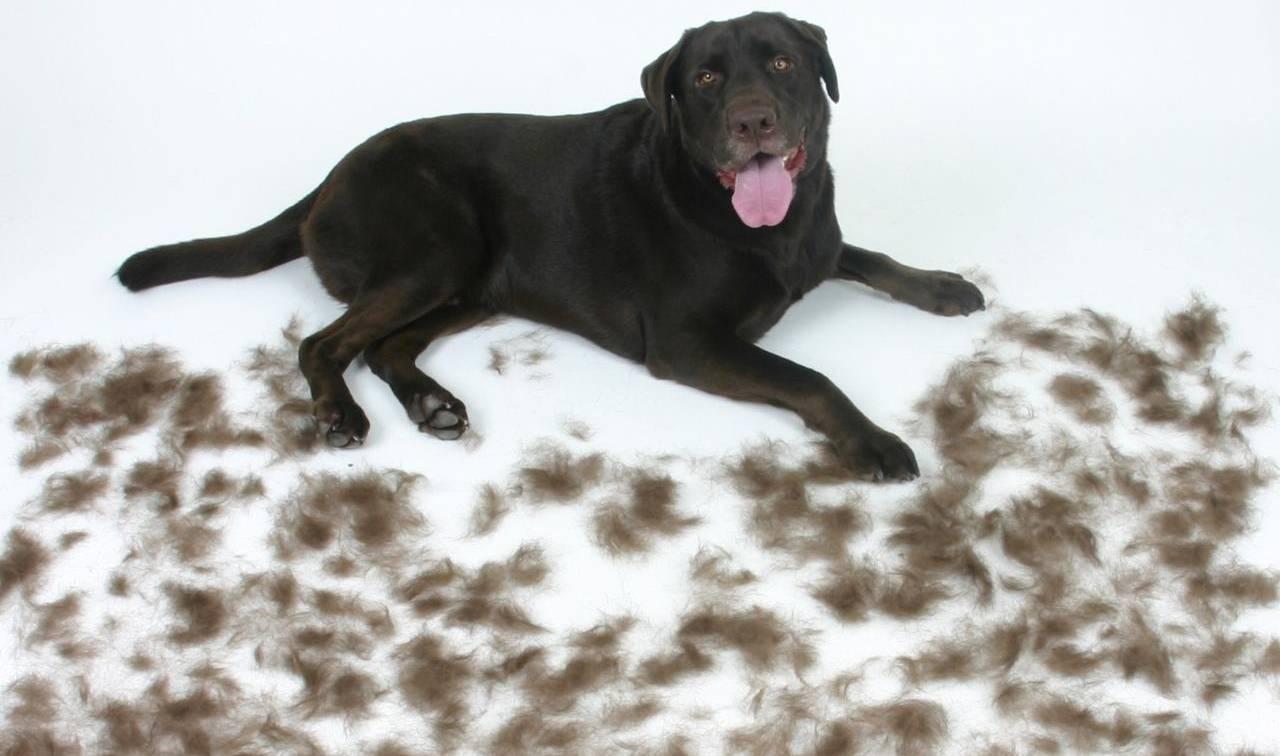 Сколько длится линька у щенка, как остановить выпадение волос у собаки