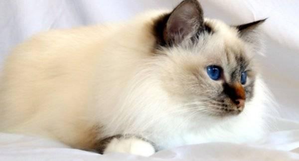Бирманская кошка (священная бирма) — описание породы