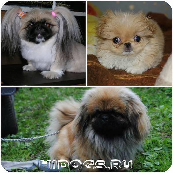 Пекинес — описание породы и характер собаки