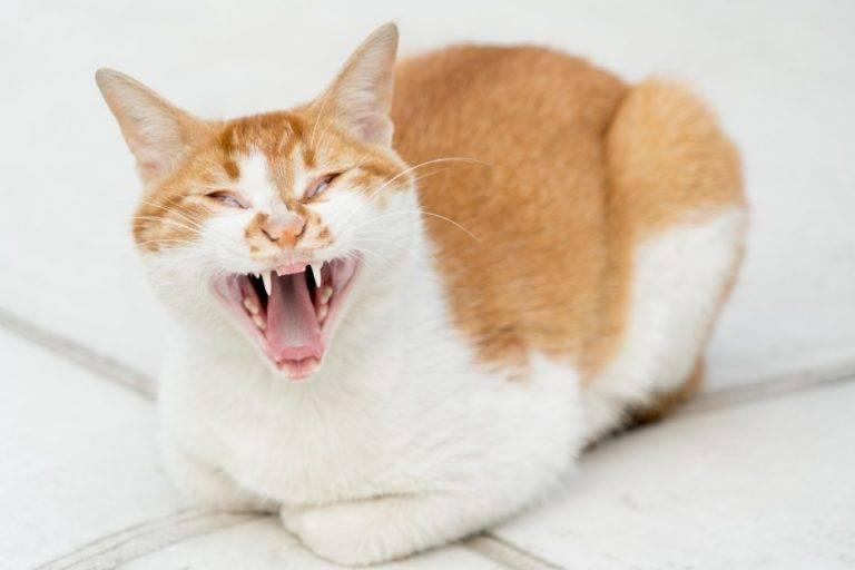 Котенок 5 месяцев постоянно мяукает. почему кошка орет днём и ночью — причины и методы решения проблем. что делать, если кот не спит по ночам, ходит и мяукает