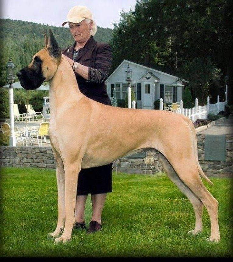 Топ-10: самые большие породы собак в мире с фото