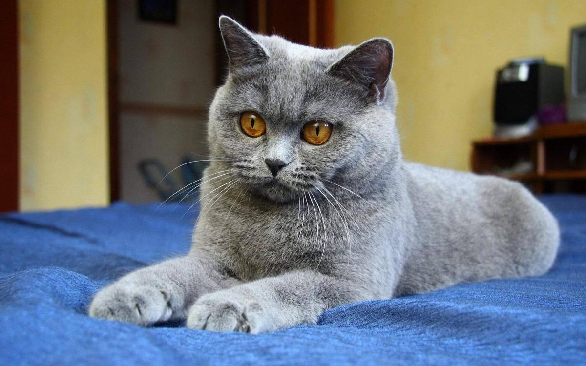 Клички для британских кошек и котов   как назвать