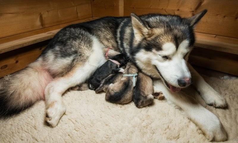 Чем кормить кормящую хаски после родов, как найти кобеля для вязки, когда первая течка и сколько длится, как долго ходит собака беременной, сколько щенков рождается?