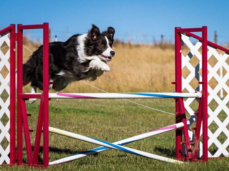 Аджилити для собак: что это, виды препятствий, породы, классы