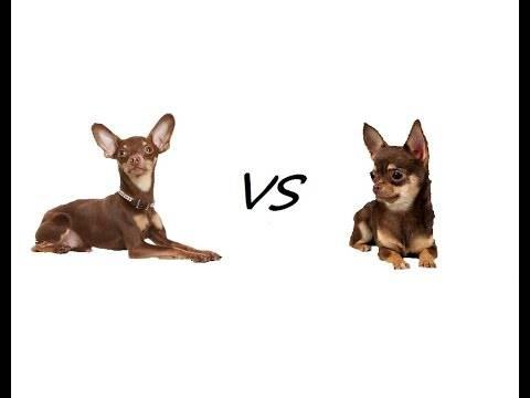 Какую породу лучше выбрать «чихуахуа» или «йоркширский терьер»: описание характера и других особенностей собак