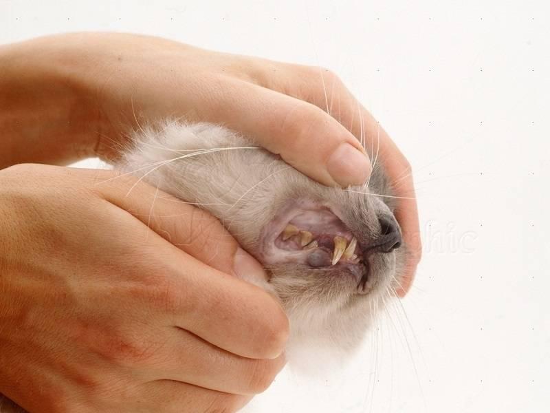 Гемобартонеллез у кошек: пути заражения, симптомы и лечение, прогноз и профилактика