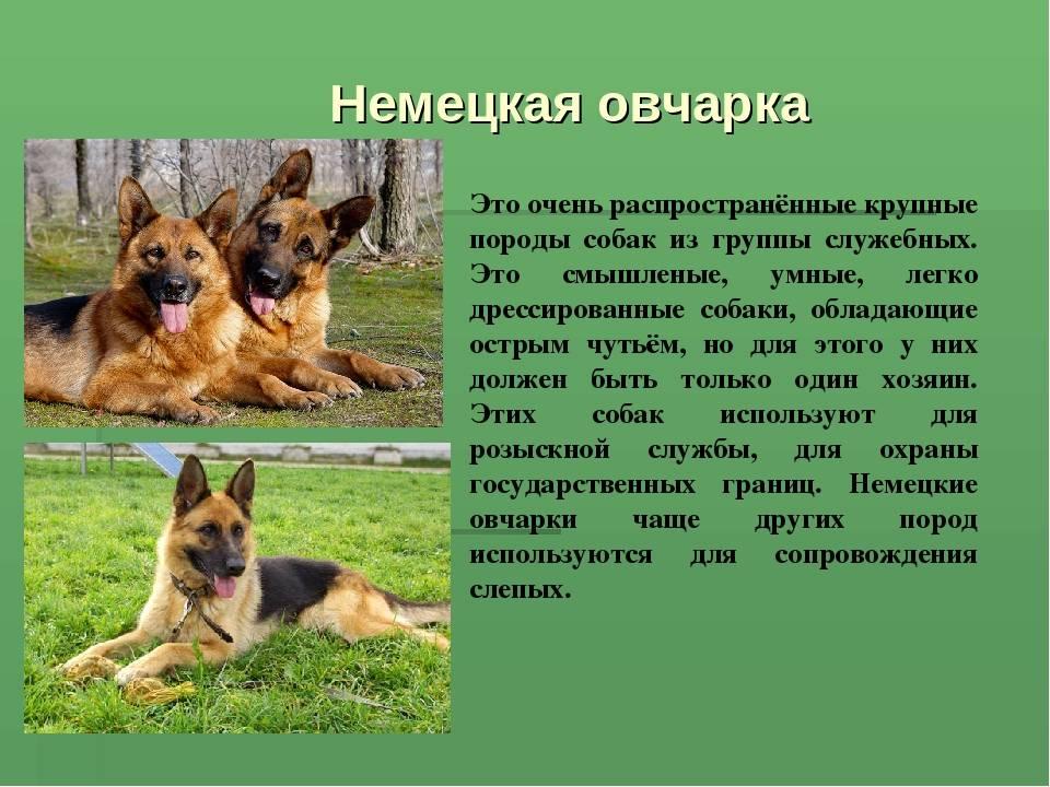 Виды немецких овчарок: описание породных линий с названиями и фотографиями + какие существуют основные окрасы собак данной породы
