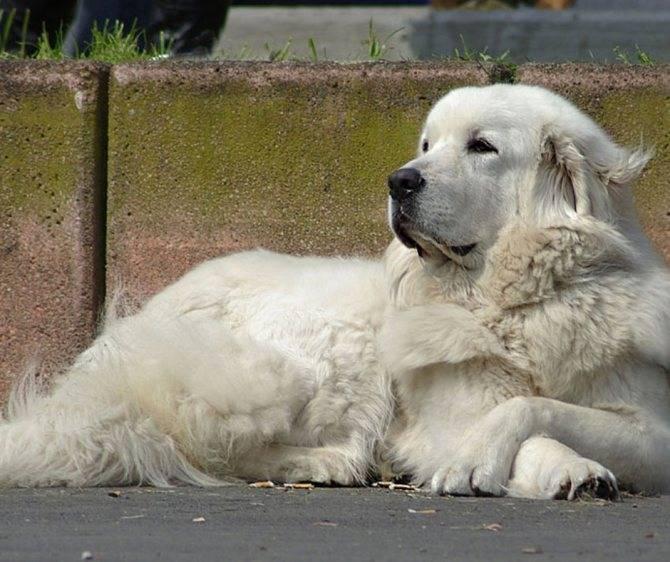 Подробное описание породы собак польская подгалянская овчарка