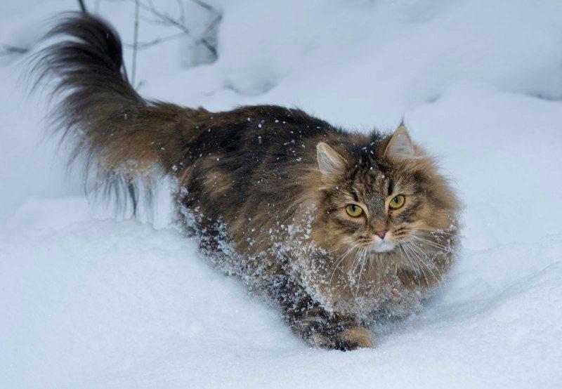 Норвежская лесная кошка: подробное описание породы с фото и видео