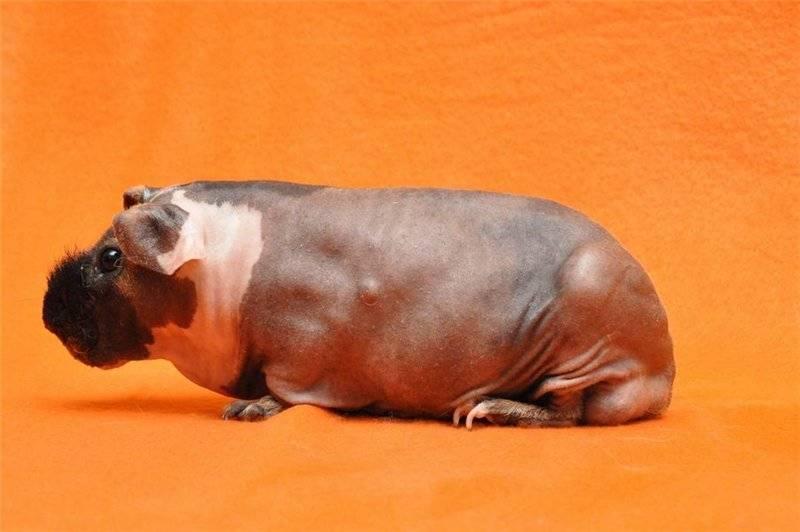 Морская свинка  – фото, описание, породы, содержание, купить, отзывы