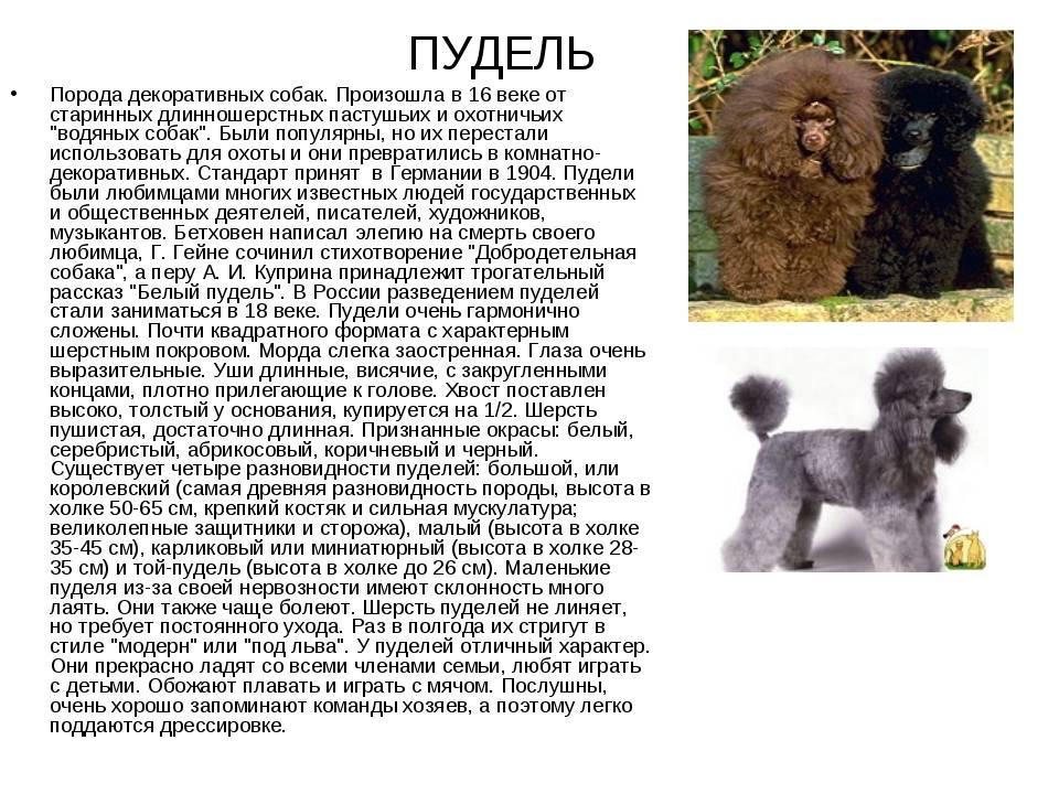 Пудель и его представители: описание и фото 4 разновидностей (по размерам)