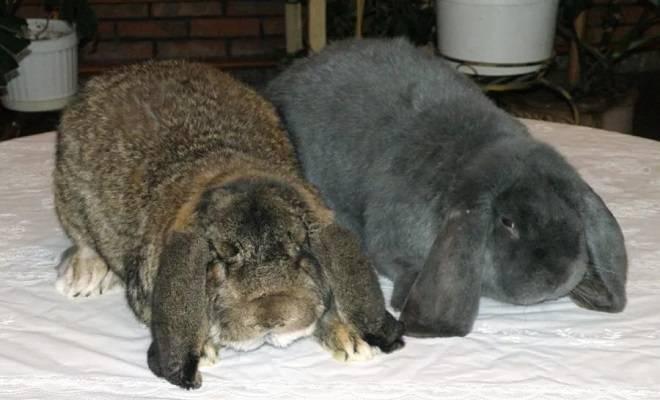Кролики породы вислоухий баран: содержание и разведение