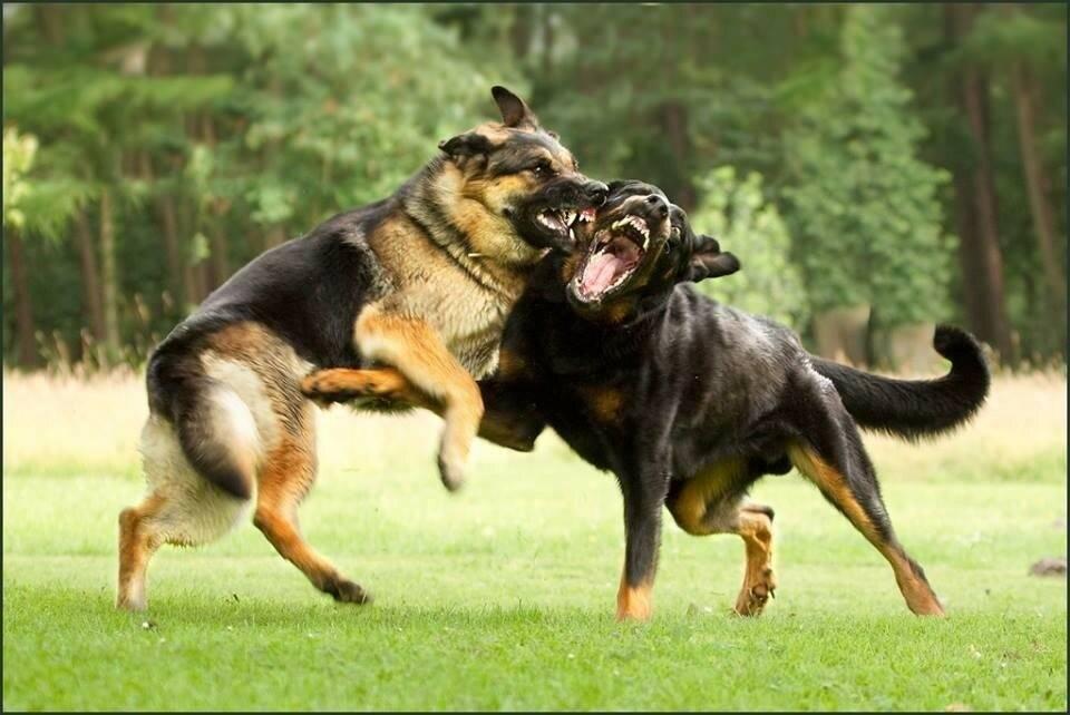 10 самых непослушных пород собак